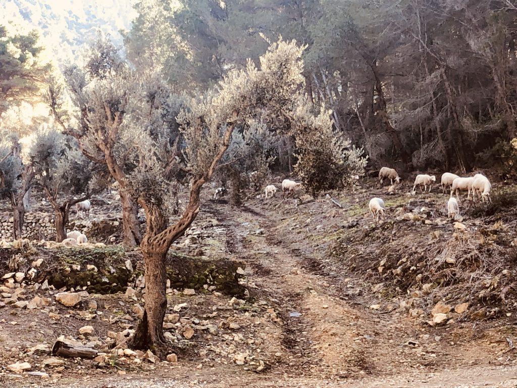 Mirador de Ricardo Roca, Schafe, Mallorca