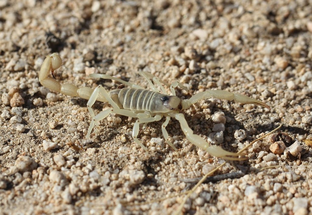 Skorpione auf Mallorca