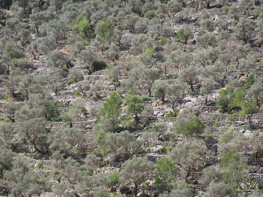 Caimari Olivenbäume